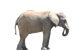 Comer do elefante Imagens de Stock