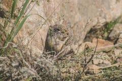 Comer do esquilo à terra de Uinta Imagens de Stock