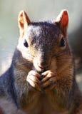 Comer do esquilo Imagem de Stock Royalty Free