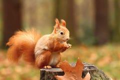 Comer do esquilo Foto de Stock