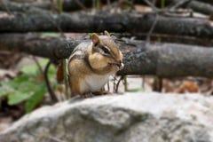 Comer do esquilo Imagens de Stock