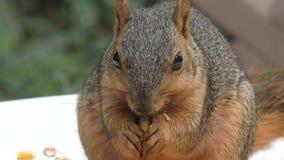 Comer do esquilo de Fox filme