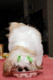 Comer do filhote de cachorro de Shih Tzu fotografia de stock