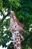 Comer do girafa Fotos de Stock
