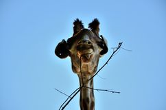Comer do girafa Foto de Stock