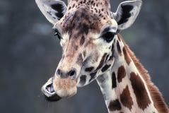 Comer do Giraffe Imagem de Stock Royalty Free