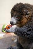 Comer do Lemur imagens de stock