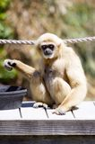 Comer do macaco Foto de Stock Royalty Free