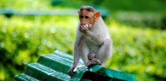 Comer do macaco Imagem de Stock
