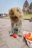 Comer do macaco. Fotos de Stock Royalty Free