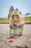 Comer do macaco. Imagens de Stock