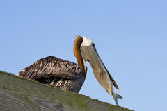 Comer do pelicano Fotografia de Stock Royalty Free