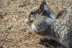 Comer do roedor bonito com campo amarelo peludo da parte traseira e do olho roxo em África fotografia de stock