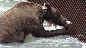 Comer do urso de Alaska video estoque