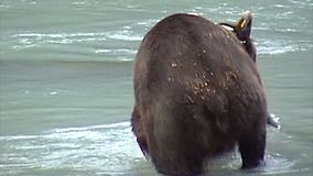 Comer do urso de Alaska vídeos de arquivo