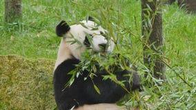 Comer do urso de panda gigante video estoque