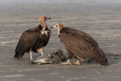 Comer dos abutres fotos de stock royalty free