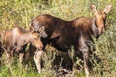 Comer dos alces da mãe e do bebê Imagem de Stock