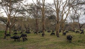Comer dos bisontes imagem de stock