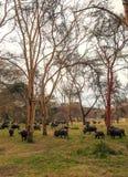 Comer dos bisontes imagens de stock royalty free