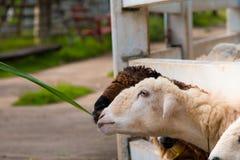 Comer dos carneiros Foto de Stock Royalty Free