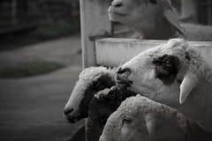 Comer dos carneiros Fotografia de Stock