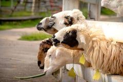 Comer dos carneiros Imagens de Stock