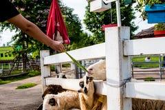 Comer dos carneiros Imagens de Stock Royalty Free