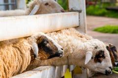 Comer dos carneiros Imagem de Stock Royalty Free