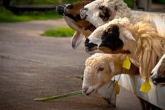 Comer dos carneiros Foto de Stock