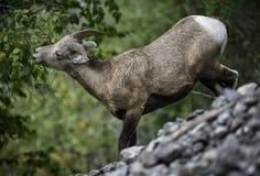 Comer dos carneiros de Bighorn Imagem de Stock Royalty Free