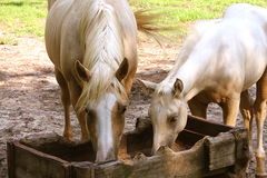 Comer dos cavalos Imagem de Stock