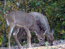 Comer dos cervos Imagens de Stock Royalty Free