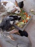 Comer dos coelhos Imagem de Stock