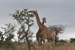Comer dos girafas Fotografia de Stock Royalty Free