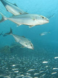 Comer dos peixes de Jack Imagens de Stock