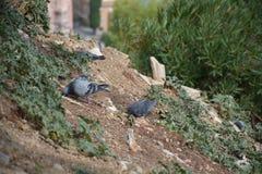 Comer dos pombos Imagem de Stock