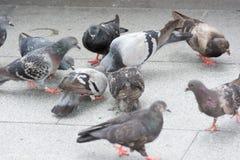 Comer dos pombos Fotos de Stock