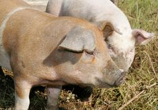 Comer dos porcos Foto de Stock