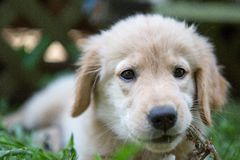 Comer dourado do filhote de cachorro Foto de Stock