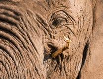 Comer enlameado sujo do elefante Fotos de Stock