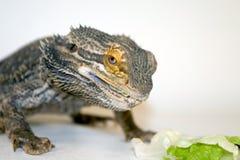 Comer farpado do dragão Fotografia de Stock Royalty Free