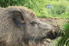 Comer grande do porco Imagens de Stock