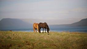 Comer islandês bonito do cavalo dois pasta, pastando no campo Exploração agrícola ou rancho fora da cidade com animais selvagens filme
