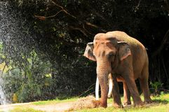 Comer masculino do elefante (horizontal) imagens de stock