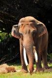 Comer masculino do elefante (vertical) imagem de stock