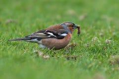 Comer masculino do pássaro do tentilhão imagens de stock