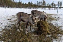 Comer novo das renas Imagens de Stock