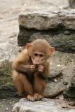 Comer pequeno do macaco do babuíno imagem de stock royalty free