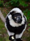 Comer preto e branco do lêmure de Ruffed Fotos de Stock Royalty Free